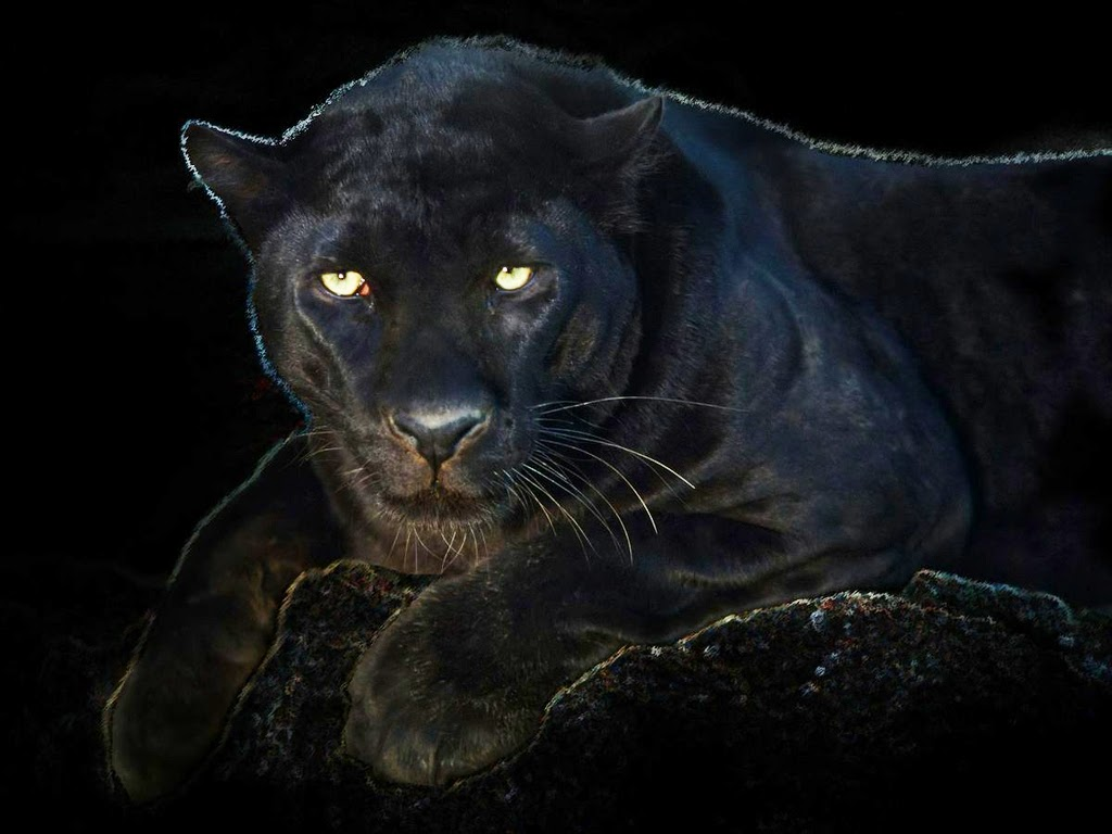 Angry black jaguar - photo#3