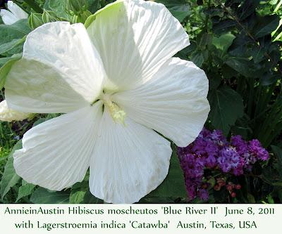 Annieinaustin, Blue River 2 hibiscus, catawba crepe myrtle