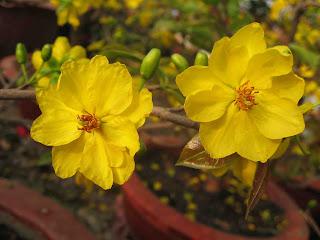 Hình hoa mai vàng tuyệt đẹp