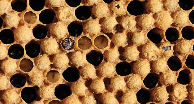 Bee eggs hatching - photo#10