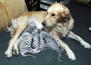 mãe adotiva: cadela e tigrinhos
