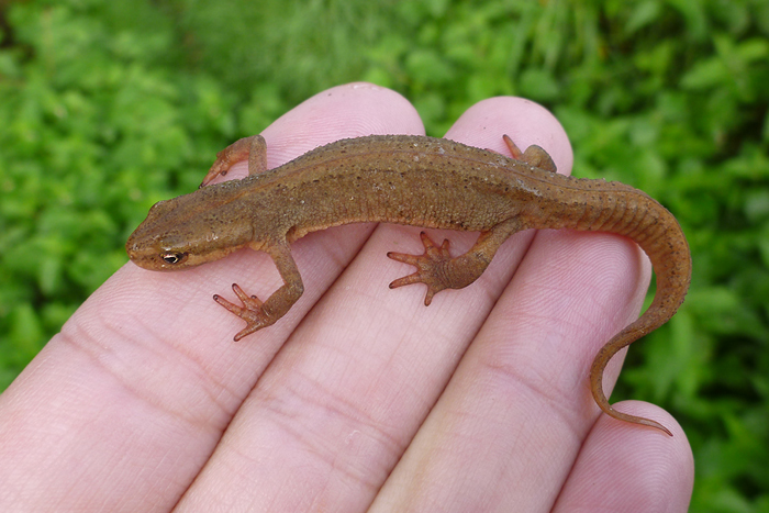 How to Care for an Aquatic Newt 11 Steps with Pictures