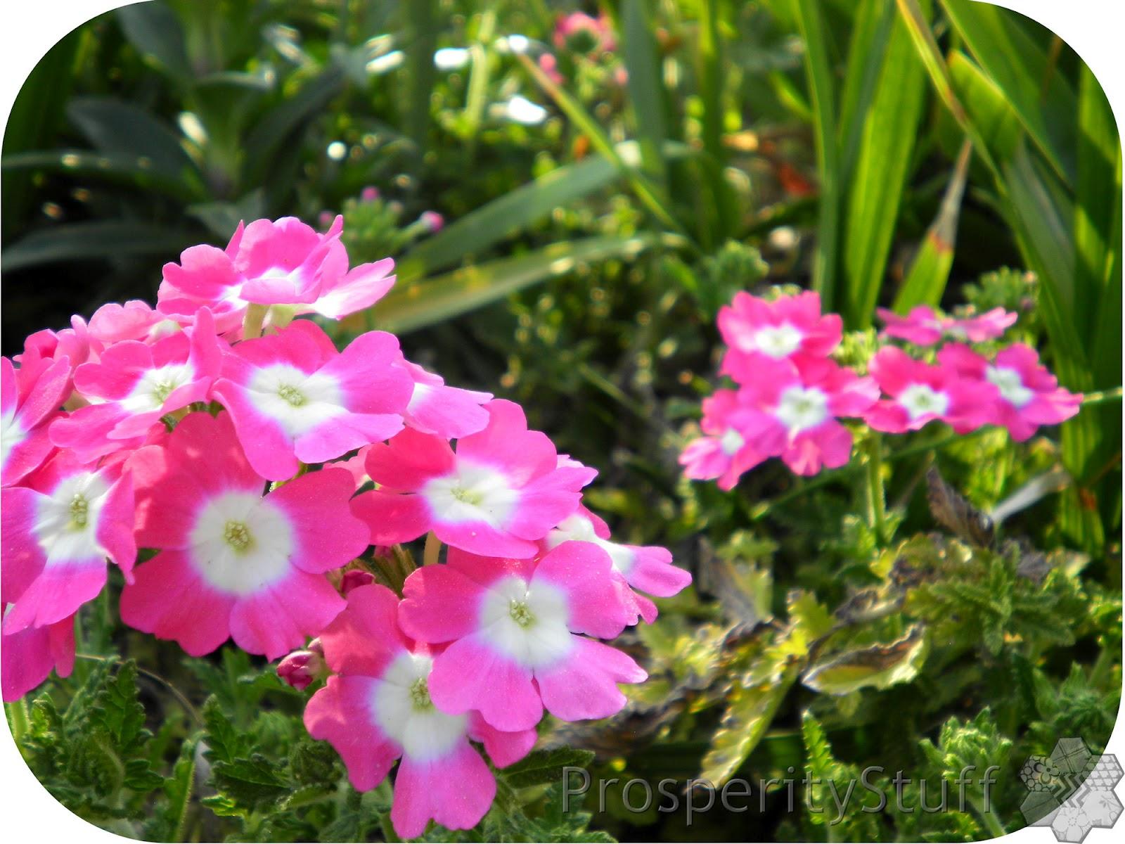 Pink Perennial Flowers