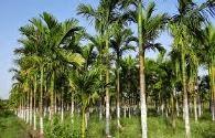 budidaya aren, pohon aren, tanaman aren, cara menanam pohon aren, budidaya pohon aren;