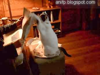 Funny Cats, funny cat gifs, funny animal gifs, home cat fun, Funny Cat Animations, cat animated gifs,