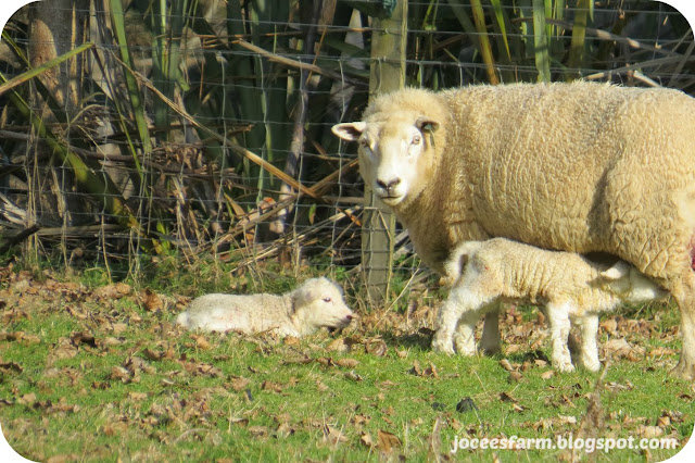 Lambing Time 2015