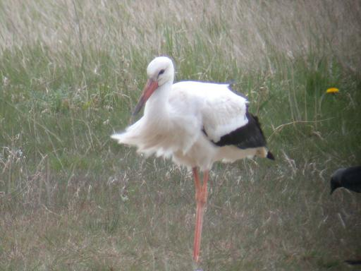WHITE STORK-BARNTON-28TH APRIL 2004
