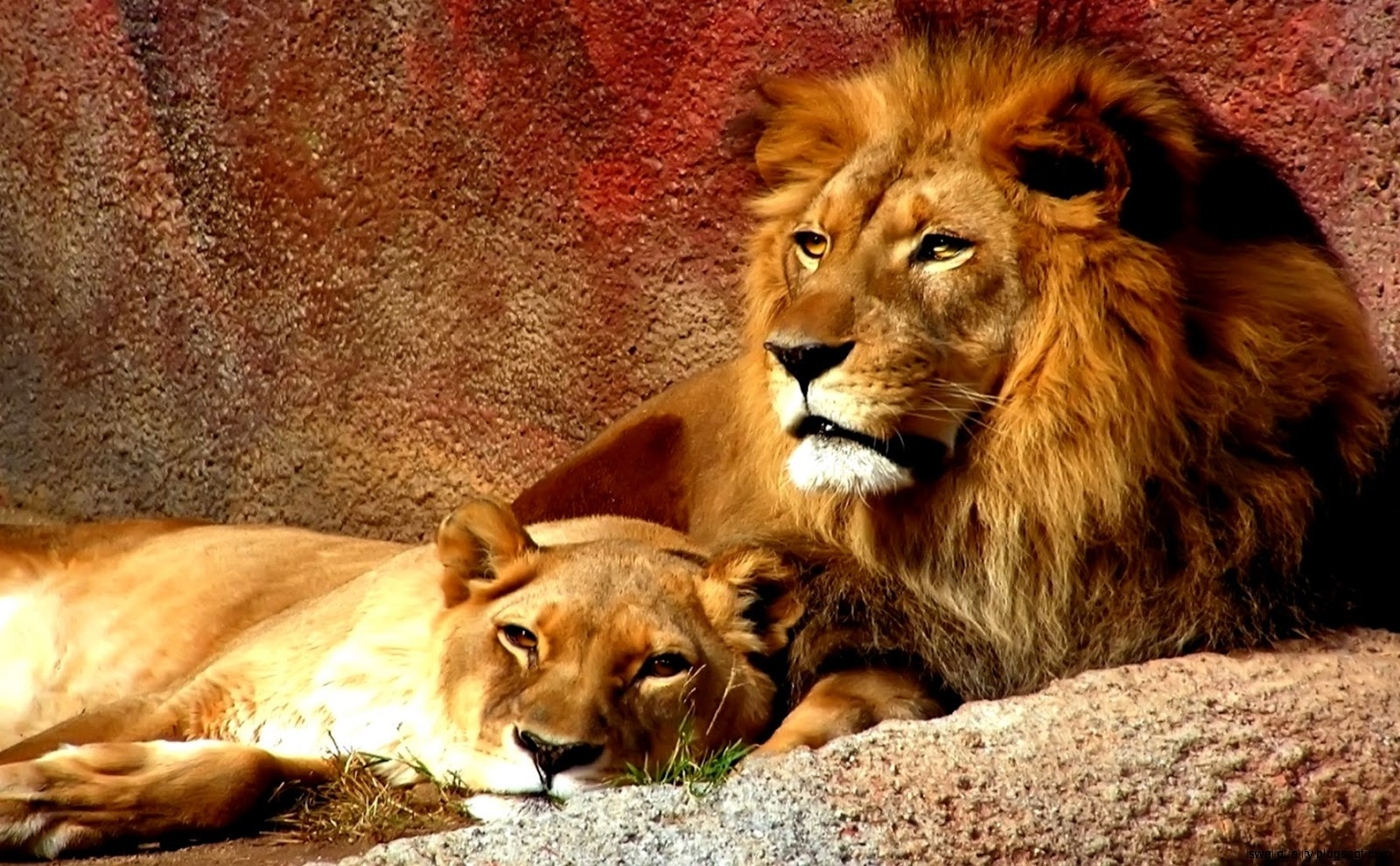 Lion And Lioness Wallpaper Hd Wallpapers Quality