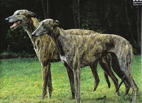 Грейхаунд, или большая английская борзая Greyhounds