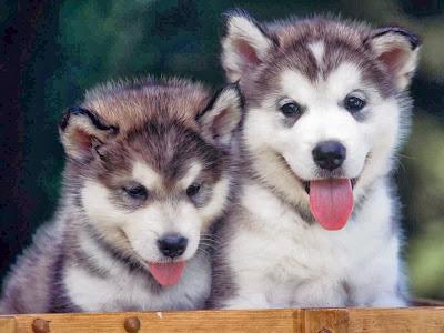 siberian husky puppies image