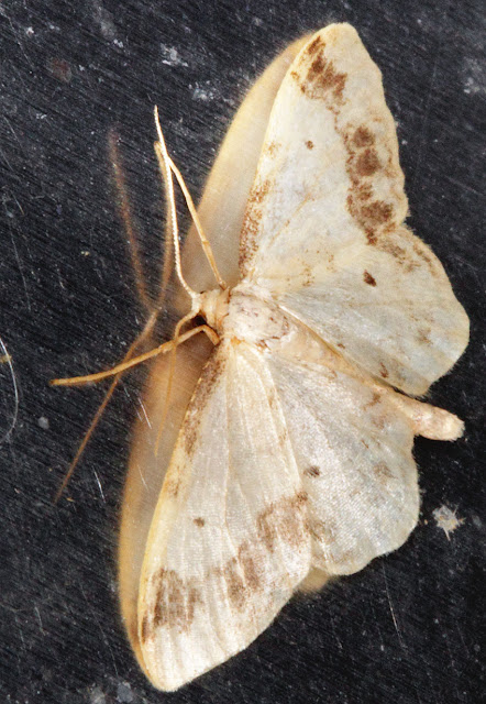 Moth, Treble Brown Spot, Idaea trigeminata.  Keston Common moth trap, 2 July 2011.