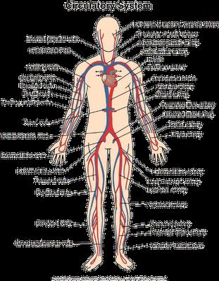Human Body Labeled Veins Arteries Epcorlite45s Soup