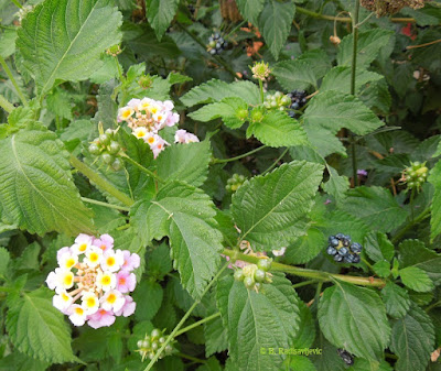 Lantana Flowers and Berries in Front of Park Cinemas, Paso Robles, © B. Radisavljevic