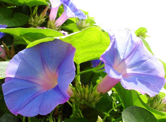Uma flor linda, que parece ter luz própria, de fácil propagação.
