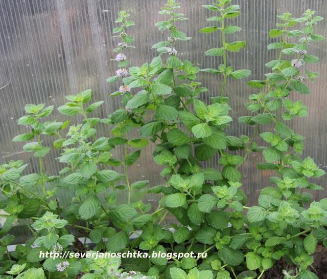 уплотненные посадки овощей и пряных трав