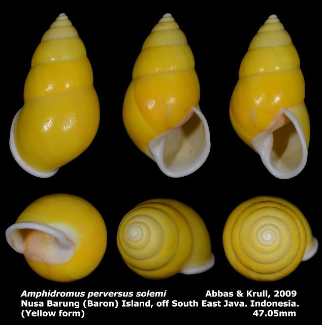 Amphidromus perversus solemi 47.05mm