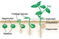 Makalah Hormon Pada tumbuhan