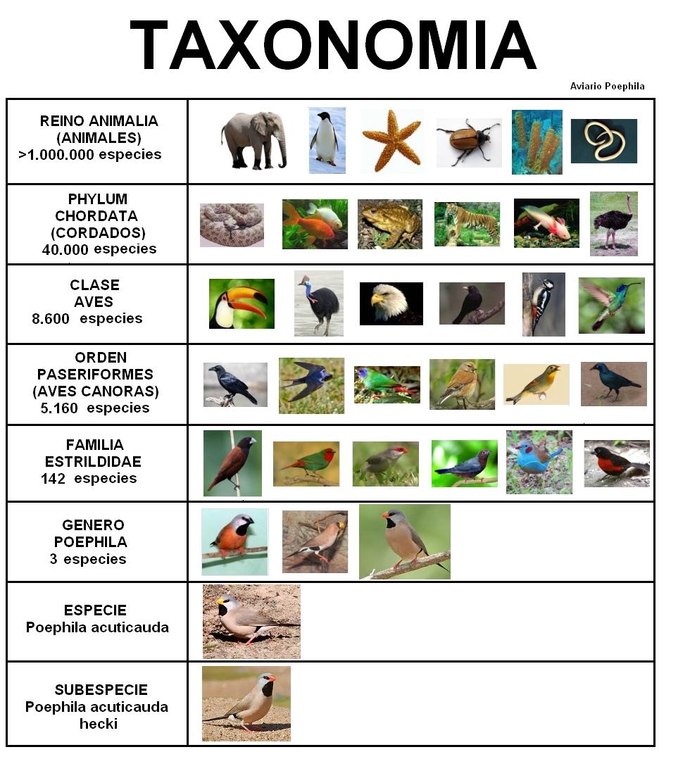 Leologia taxonom a for Taxonomia de la jirafa