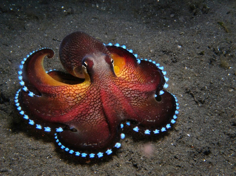 50 Powerful Photos Capture Extraordinary Moments In The Wild - The elegant coconut octopus is found in the tropical waters of the western Pacific Ocean.