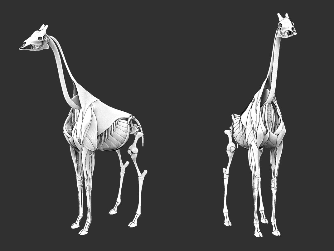 An Artistic Study of Anatomy: Animal Anatomy