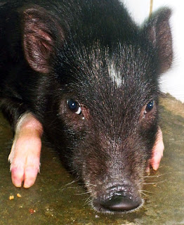 Pocket the piglet now safe