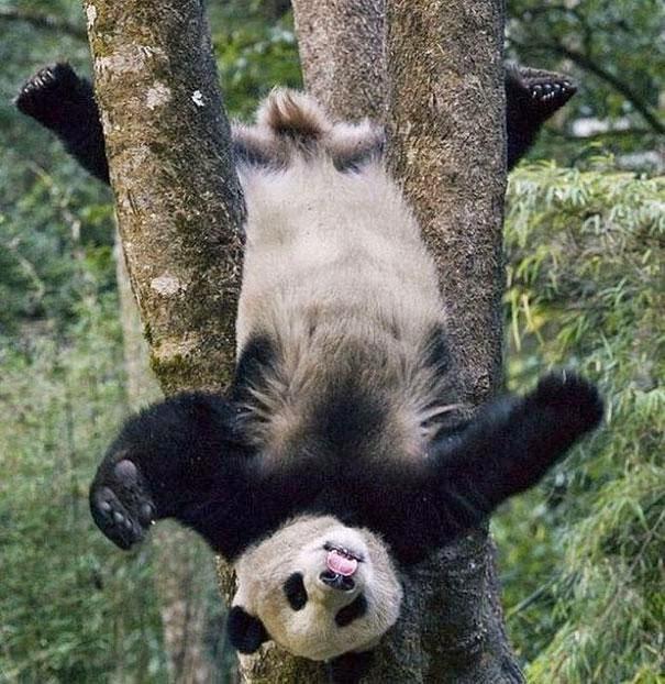 oso panda mostrando su nuevo truco