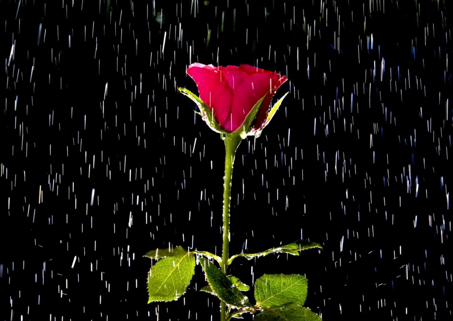 Animated Rose Wallpaper 07547   Baltana