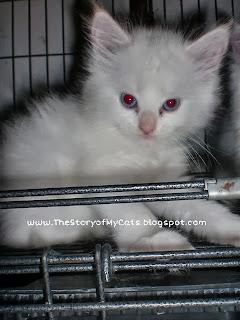 kucing putih sidoarjo surabaya