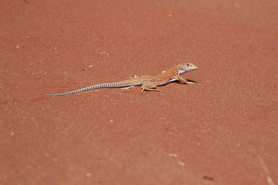 Schmidt's Fringed-toed Lizard