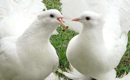 صور رائعة لأجمل طيور الحمام الأبيض