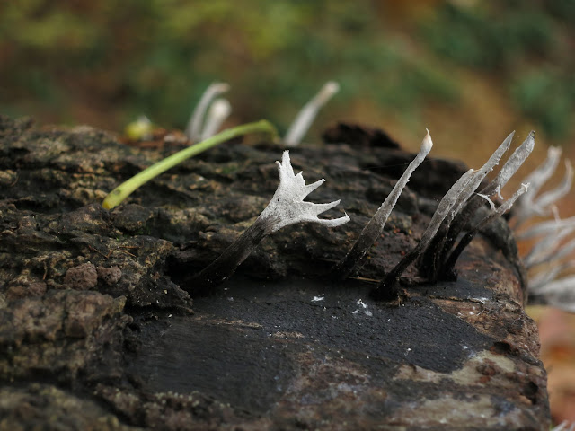 Candlesnuff Fungus (Xylaria hypoxylon) on log showing different stages