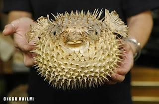 a98564 PufferFish Gambar Haiwan Paling Cantik Tapi Paling Bahaya Di Dunia