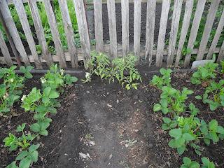 Два куста помидоров размещены между двумя грядками клубники у забора