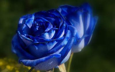 Gambar Bunga Mawar Biru Indah