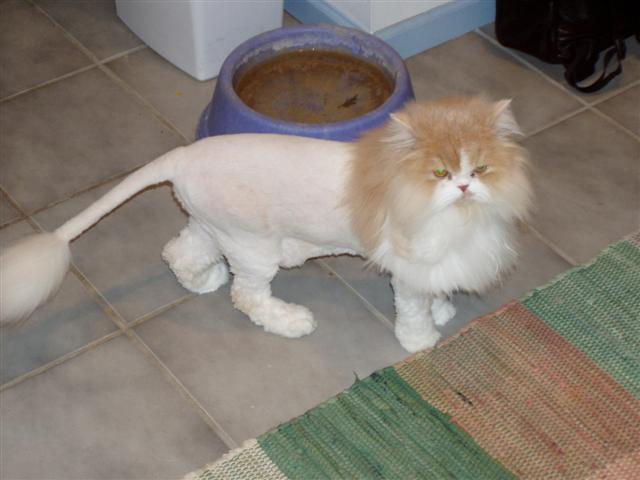 New Persian Cat Haircuts Related Keywords Amp Suggestions  Persian Cat