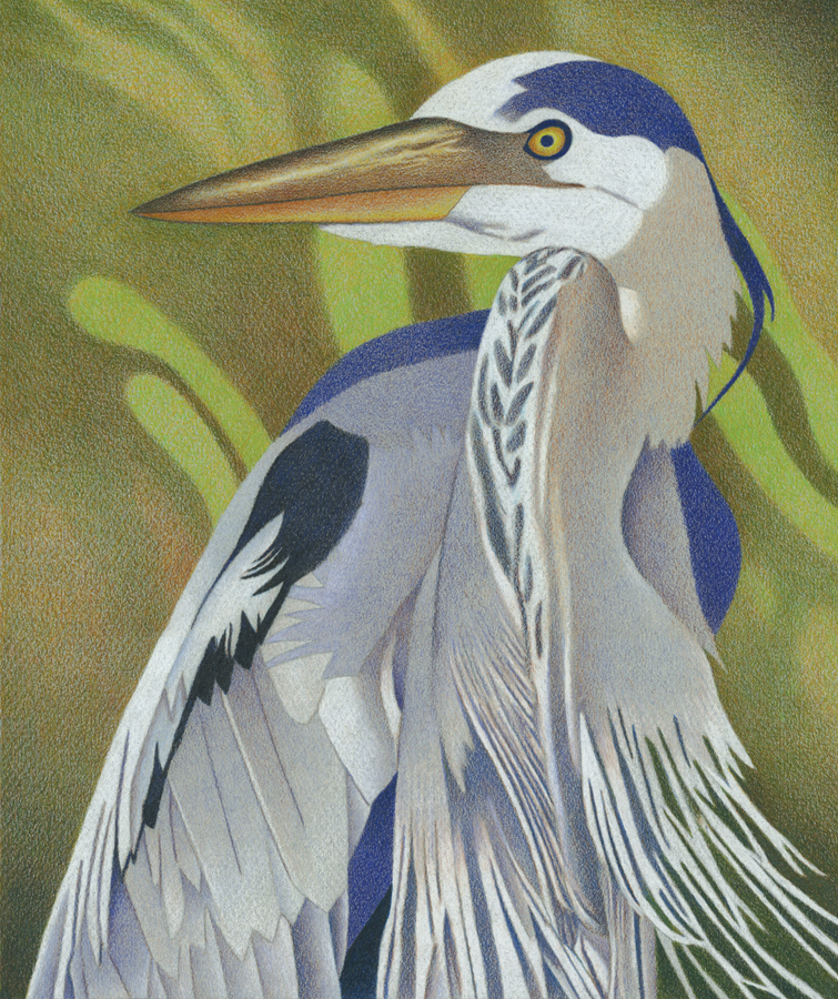 Impression Evergreen Great Blue Heron Colored Pencil Drawing