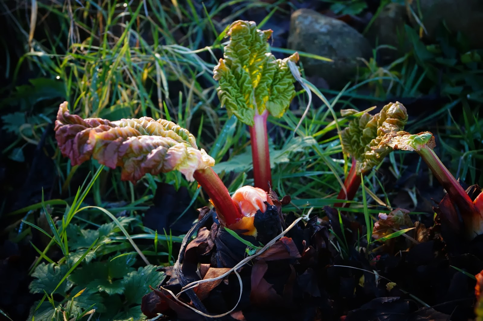 Rhubarb poking through - 'Grow Our Own' Allotment Blog