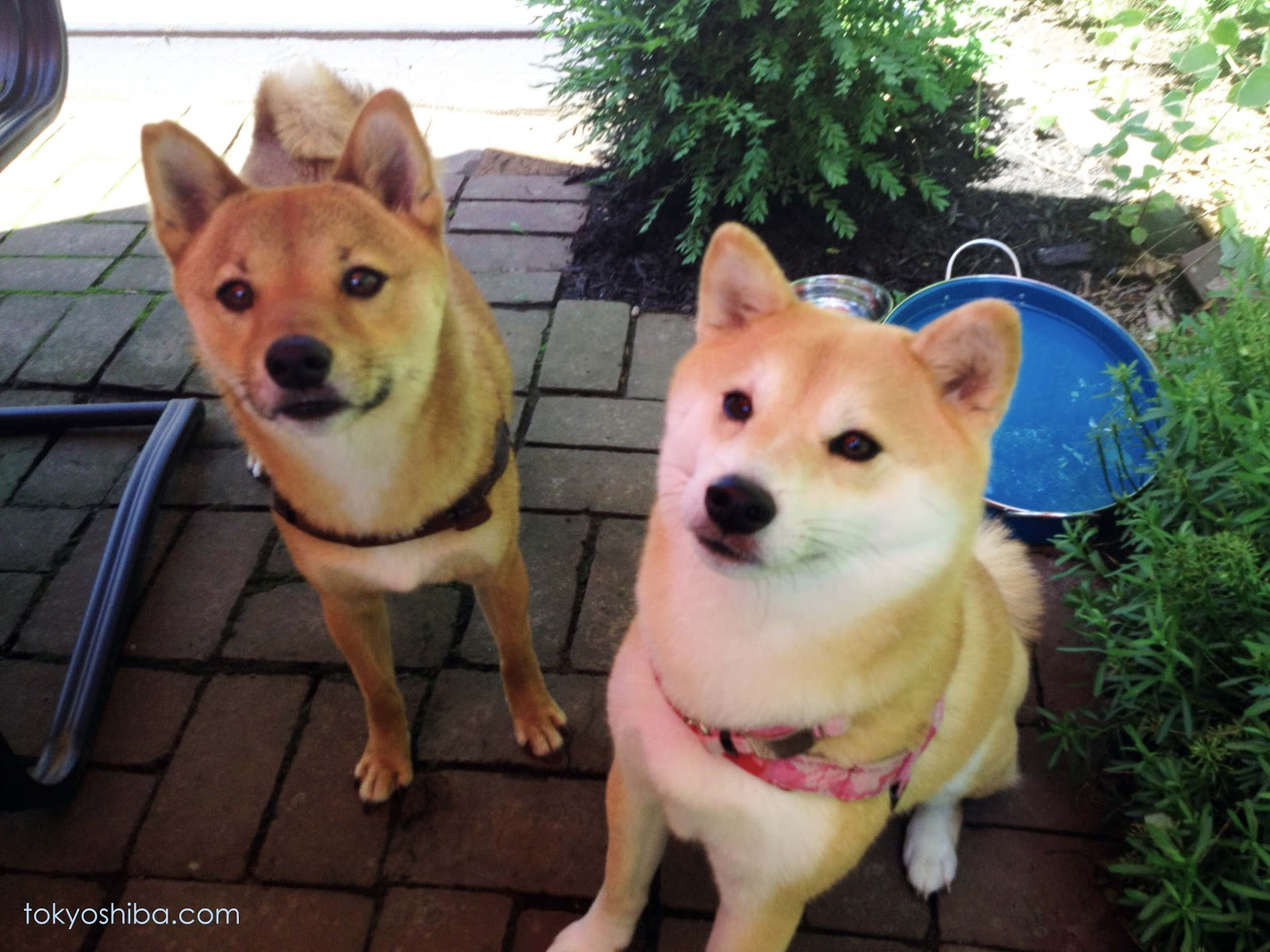 Image Result For Shiba Inu Rescue