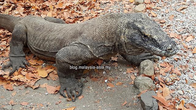 Picture of Komodo Dragon