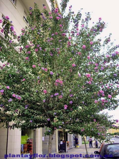 Arbol peque o de flor para clima mediterraneo for Arboles de hoja perenne para clima mediterraneo