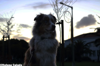 o meu pastor australiano red merle Angel