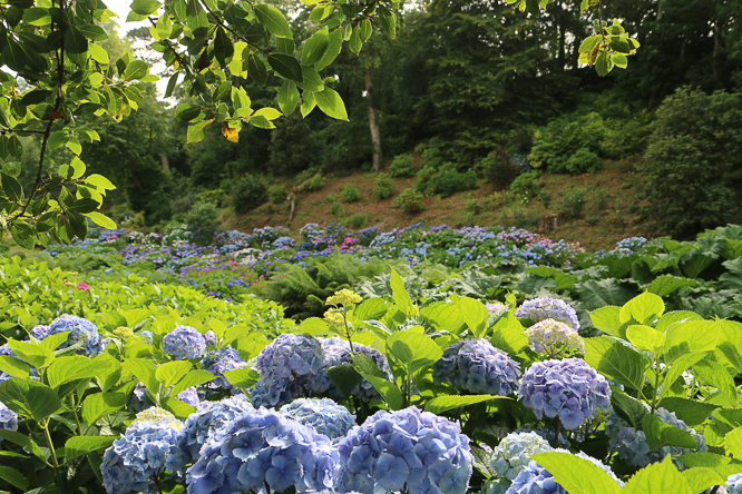 Hydrangea Valley at Trebah Garden, Mawnan Smith Cornwall by Alexis www.somethingimade.co.uk