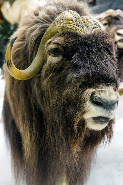 Musk ox, Cabela's, 365 photo project, Lisa on Location photography New Braunfels and San Antonio