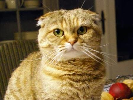 Las Razas mas Feas de Gatos