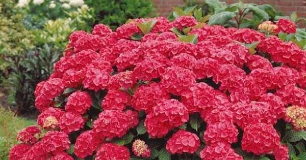 Xardinnova Hydrangeas U Hortensias