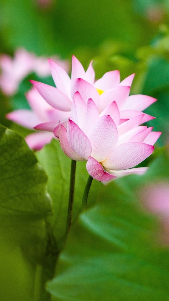 Twol Pink Lotus Flowers And Leaves Galaxy Note HD Wallpaper