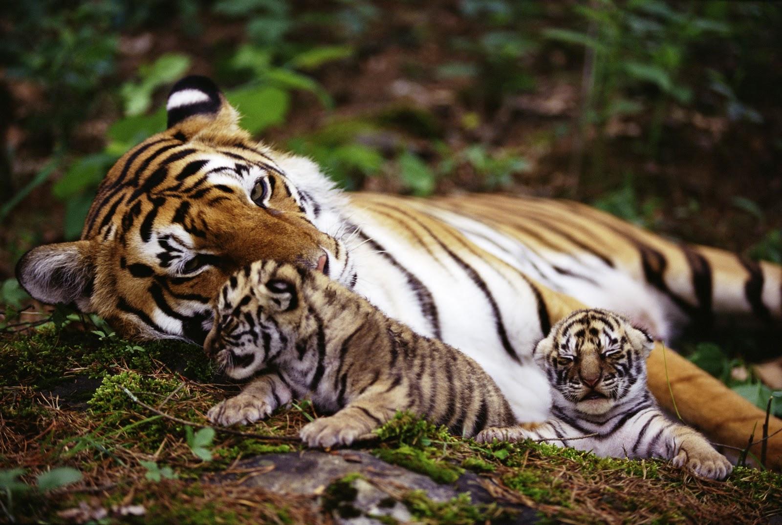 pictures top 10 tiger tiger wallpaper top ten wild animal