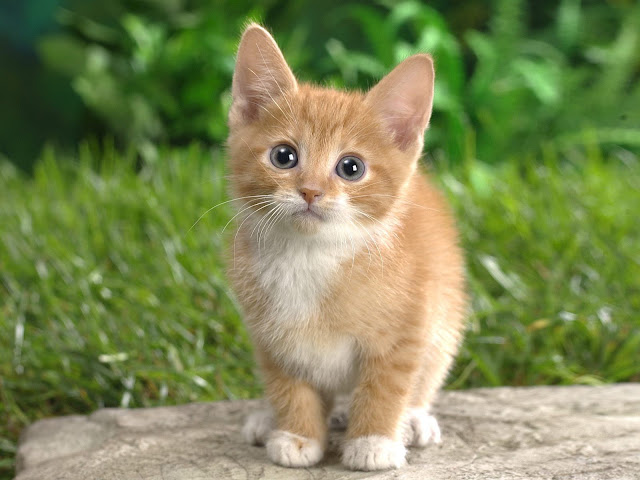 cat wallpapers free