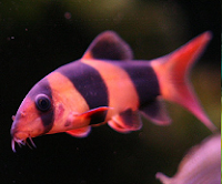 entertaining clown loach