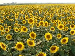 20 Manfaat Minyak Biji Bunga Matahari Untuk Kesehatan Dan Kecantikan